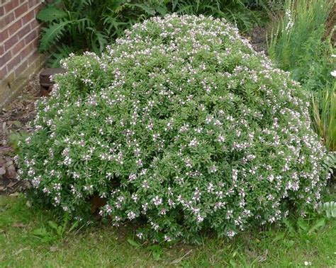 daphne x transatlantica eternal fragrance deer resistant plants zone 9 pinterest fragrance