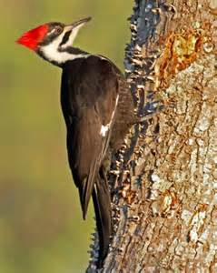 north carolina woodpeckers
