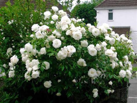 iceberg rose hybrid tea roses white gardens beautiful