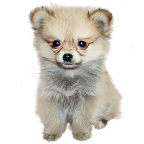 chihuahua pomeranian mix temperament pomchi breed 187 pomeranian chihuahua mix