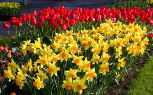 Image result for daffodils and tulips