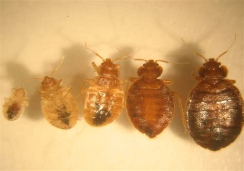 size of a bed bug bed bugs middlesex london health unit