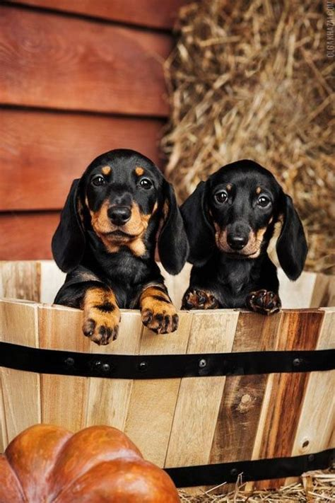 fall puppies happy fall wiener dogs