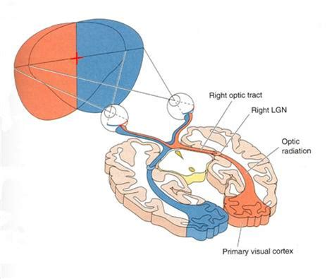 visual cortex diagram visual pathway diagram visual free engine image for user