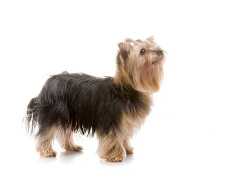 pictures of big yorkies photos de terrier 224 visionner t 233 l 233 charger
