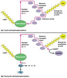 light dependent definition 102 the light dependent reactions photophosphorilation