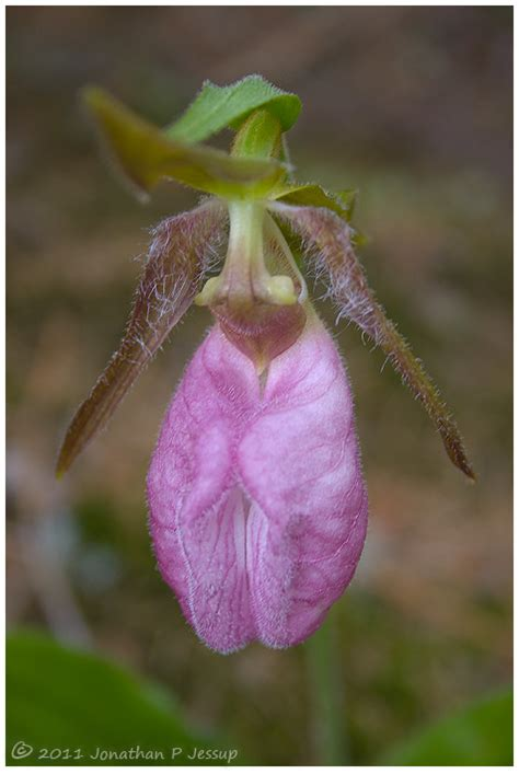 pink slipper orchid pink slipper orchid by jonathanjessup on deviantart