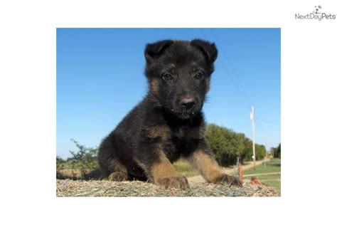trained therapy dogs for sale meet rizzoli a german shepherd puppy for sale for 1 500 rizzoli in as