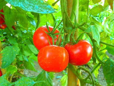 cucinare i pomodori pomodoro in scatola il lato oscuro frutto rosso