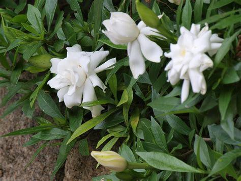 shrubs flowers plants flowers 187 gardenia jasminoides veitchii