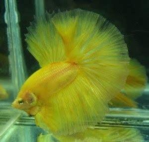 Pakan Ikan Cupang Selain Cacing budidaya ikan cupang