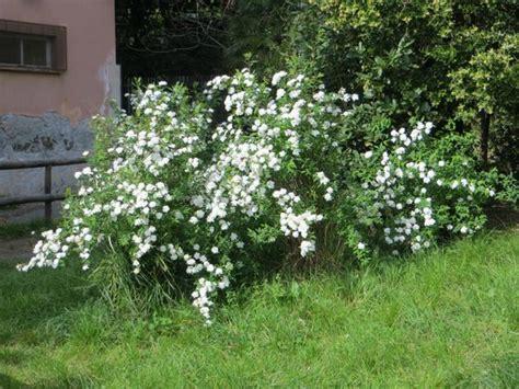 cespuglio fiorito un cespuglio fiorito foto di villa banfi genova