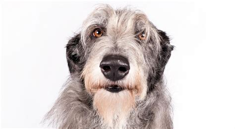 scottish deerhound puppies scottish deerhound breed information american kennel club