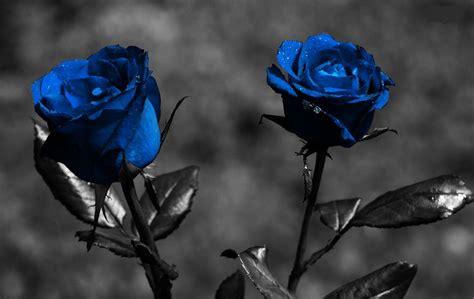 imagenes hd feliz noche con rosas azules imagenes de rosas azules fondos de pantalla
