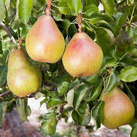 buy fruit tree doyenne du comice pear buy pear trees purchase pear