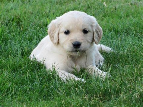 golden retriever breeders in bc 22 best golden retriever images on golden retriever puppies