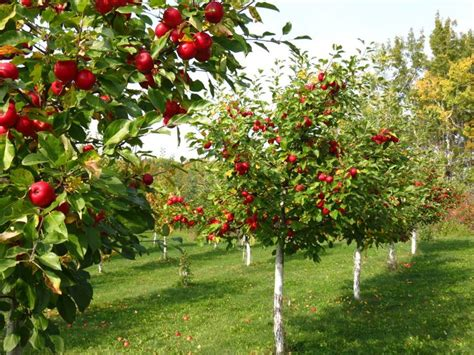Backyard Fruit Orchard by Fruit Tree Orchard Design Fruit Orchard Pictures