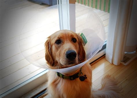 cone of shame are animals actually ashamed when they are forced to wear the cone of shame