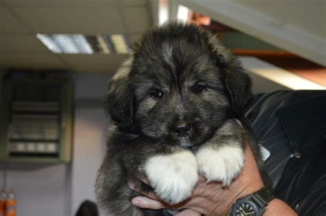 caucasian ovcharka puppies for sale caucasian ovcharka breeders puppies caucasian ovcharka dogs at the breeds
