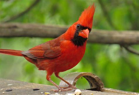 backyard bird blazing crown backyard bird