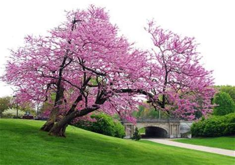 japanese redbud tree photos plant names gt lotus gt flashcards gt black walnut resistant trees shrubs studyblue