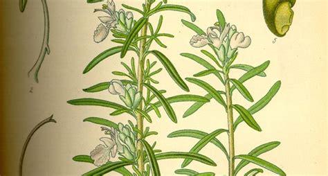 rosmarino prostrato in vaso rosmarino prostrato aromatiche coltivare il rosmarino