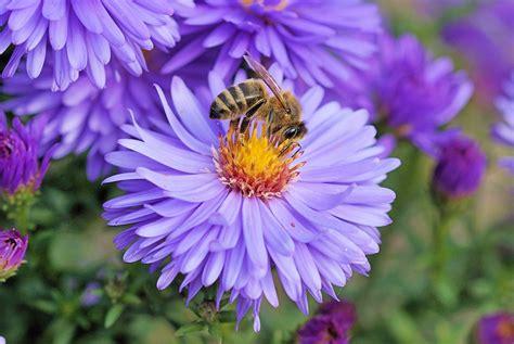 Garten Blumen Jetzt Pflanzen bienenfutter jetzt winterharte blumenstauden pflanzen