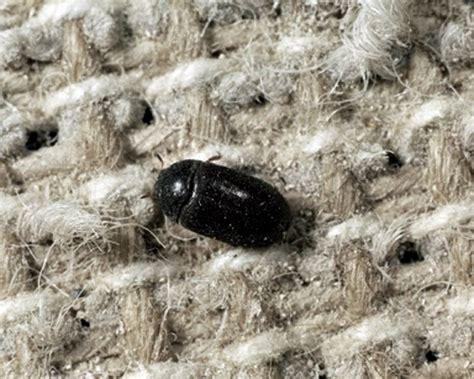 how to get rid of carpet beetles in my bedroom how to get rid of carpet beetles permanently evolutionext