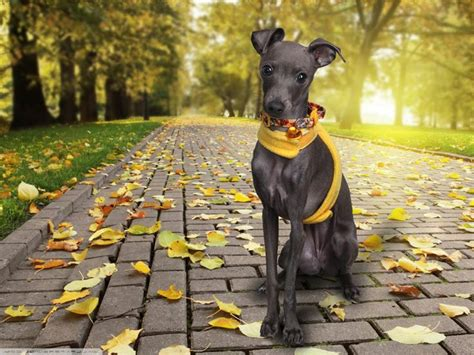 italian greyhound colors italian greyhound fall leaves i greyhound more