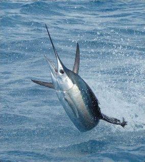 sailfish vs boat sports fish swordfish sailfish and marlin facts and