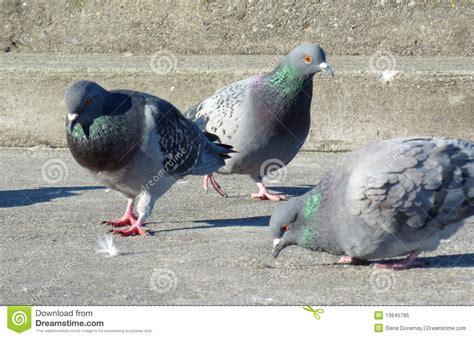 alimentazione piccioni cibo dei piccioni fotografia stock libera da diritti