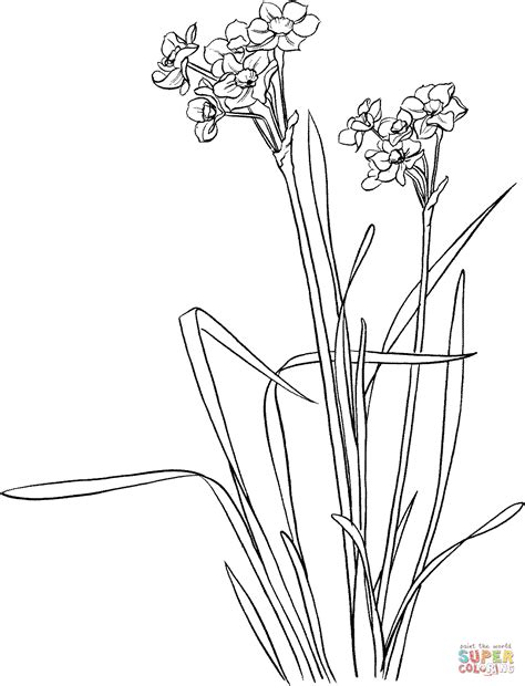 narcissus flower coloring page narcissus tazetta coloring page free printable coloring