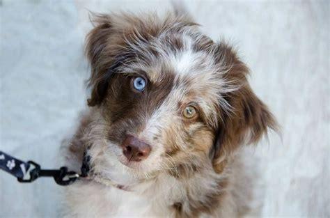border doodle puppies for sale australia aussiedoodle australian shepherd poodle mix info