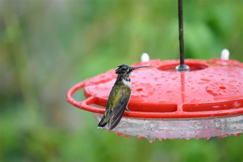 hummingbird fall migration news journey north