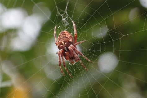 Garden Spider by Garden Spider Reversed Pentax A Smc 50mm Lens