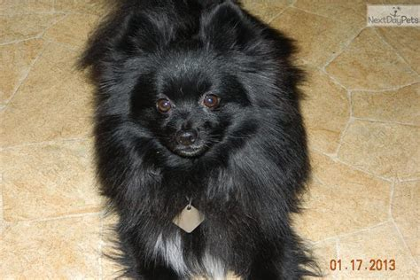 pomeranian for sale in indiana pomeranian puppy for sale near south bend michiana indiana b543af7a 7a71