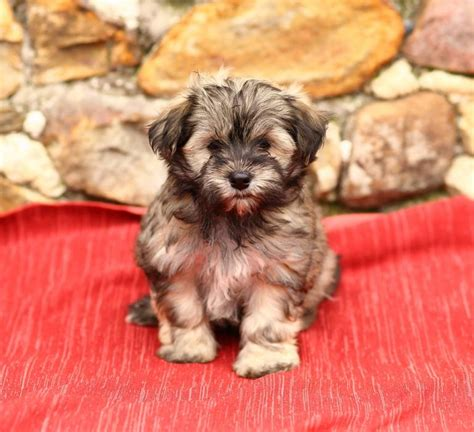 havanese puppies for sale in oklahoma fluffy havanese puppies craigspets