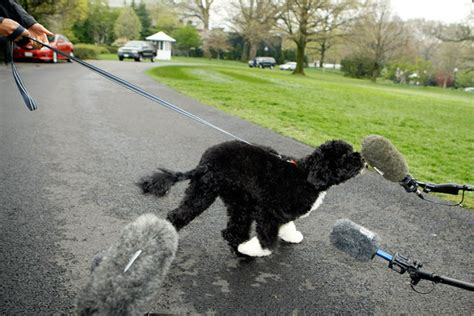 bo white house dog prez says bo obama has star quality bo obama zimbio