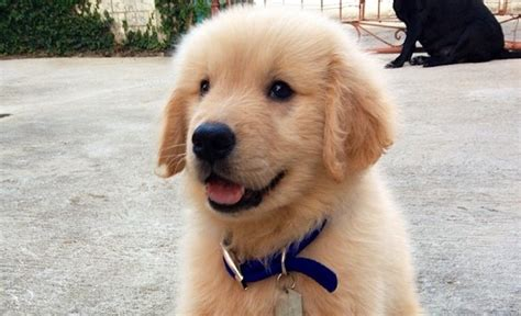 Collection of 10 absolutely random facts about golden retrievers