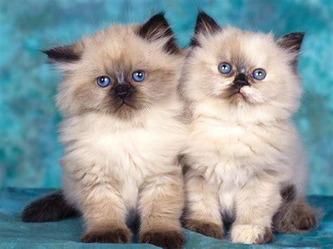 twin cats cauldron of reflections kitties