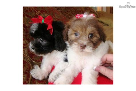 maltipoo puppies for sale in dallas maltipoo puppies for sale in 808jpg breeds picture