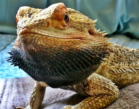 why do bearded dragons change color 28 images zebra