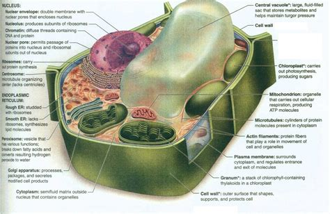 plant cell diagram and functions diagrams of a plant cell to print diagram site