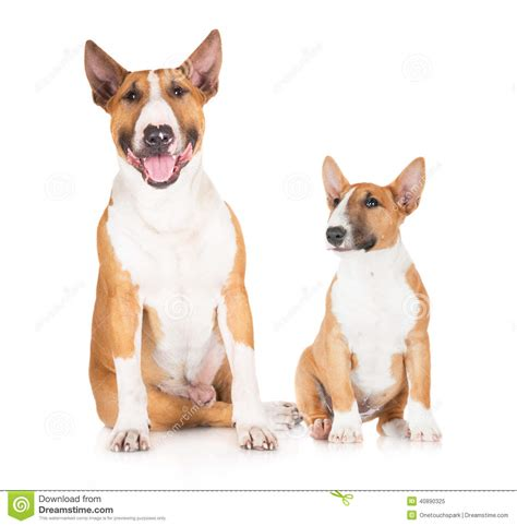 english bull terrier standard miniature standard and miniature english bull terrier dogs stock