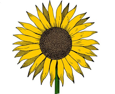 clip art free clip art sunflower vector image clip art department