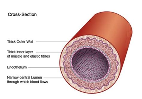 blood vessel cross section home the paleo diet