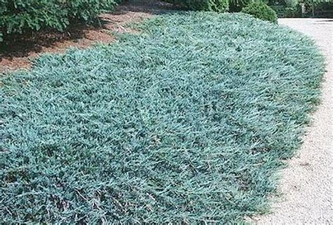 blue rug juniper growth rate blue rug quotes
