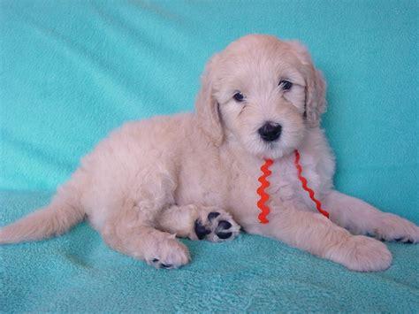 goldendoodle puppy orange county goldendoodle puppy puppies goldendoodle breeder ga dogs