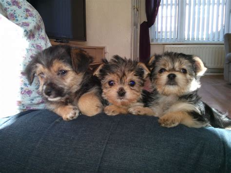 chihuahua cross yorkie puppies for sale yorkie cross chihuahua puppies for sale stoke on trent staffordshire pets4homes