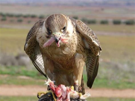 que comen las hadas que comen los animales que comen los halcones donde viven como nacen